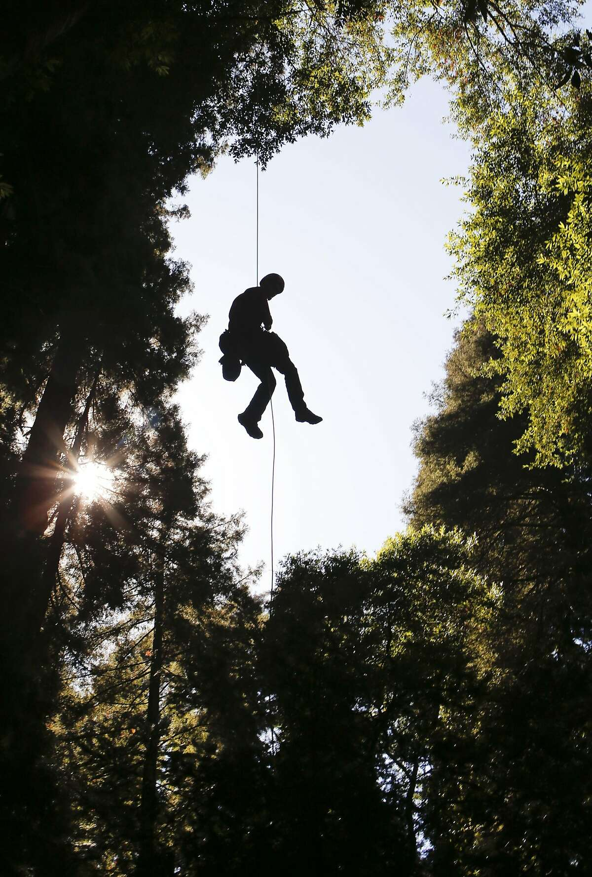 UC Berkeley graduate student Cameron Williams slowly returns from the tree canopy with samples at Henry Cowell Redwoods State Park in Felton , Calif., on Wednesday Oct. 1, 2014. A study by UC Berkeley researchers and San Francisco-based Save the Redwoods League is looking at whether or not the drought is hurting redwood, douglas fir and bay trees.