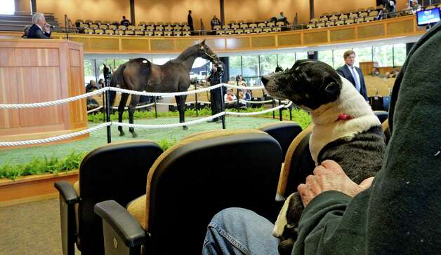 Oscar the Jack Russell terrier watches as horses go through the sales ring during the Fasig-Tipton Saratoga Fall Sale Monday afternoon Oct. 6, 2014 in Saratoga Springs, N.Y.  (Skip Dickstein/Times Union) Photo: SKIP DICKSTEIN / 10028901A