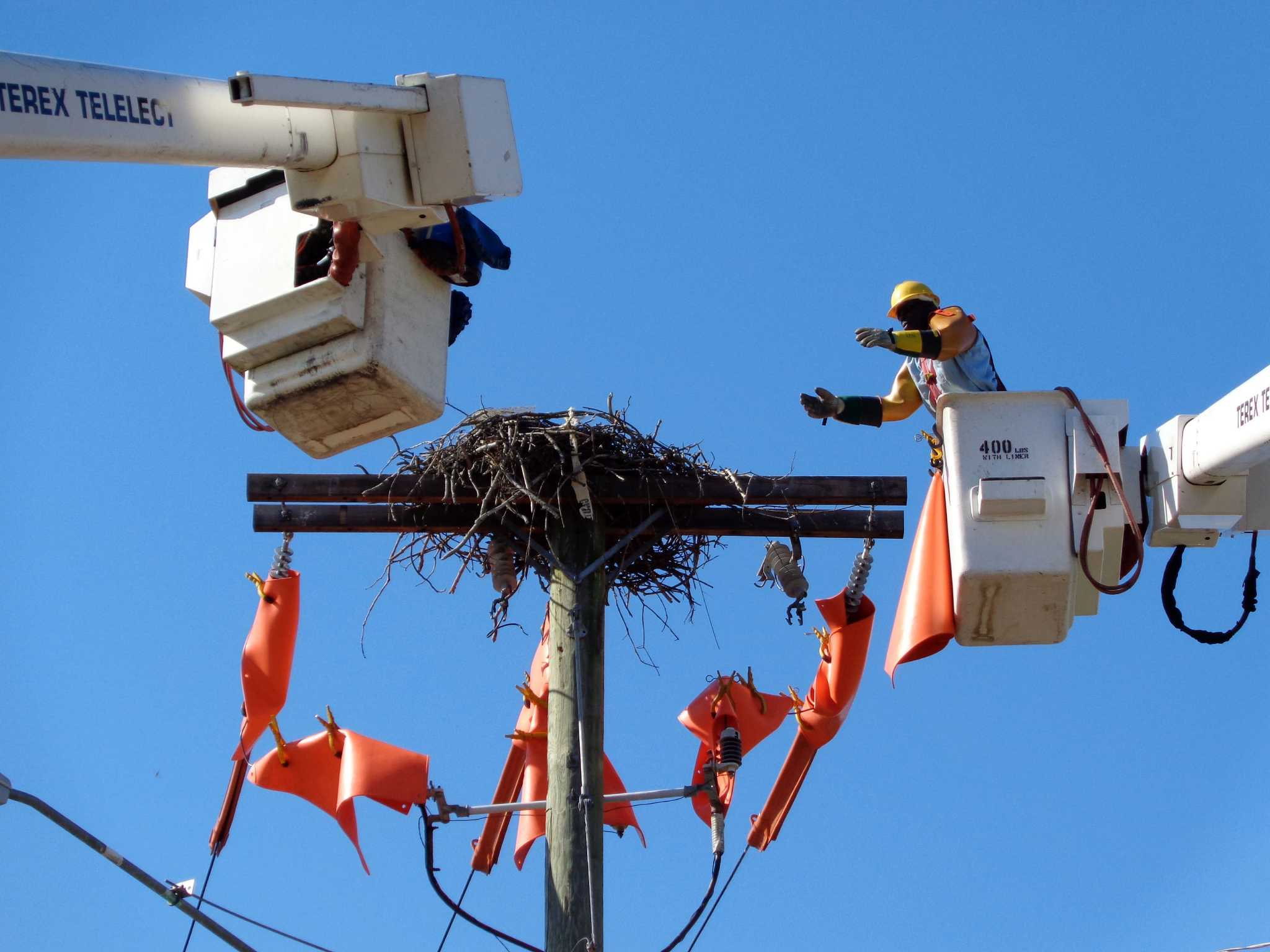 High And Live Wire Act Cl P Crews Move Westport Osprey Nest