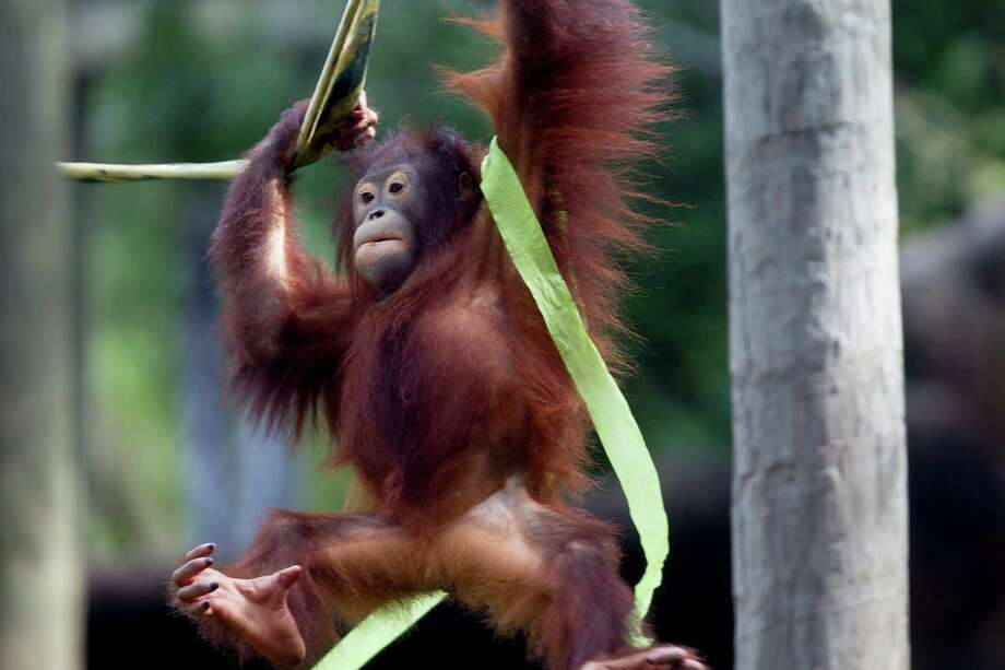 Aurora, an orphaned baby orangutan, plays at Houston Zoo Tuesday, Oct. 7, 2014, in Houston. Photo: Johnny Hanson, Houston Chronicle / © 2014  Houston Chronicle