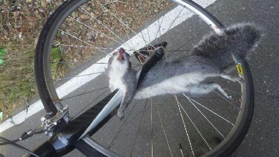 A squirrel seriously injured a bicyclist when it ran into Bohemian Highway during the Levi's GranFondo charity ride in Sonoma County on Saturday, Oct. 4, 2014. The squirrel was also killed. Photo: Courtesy / Christopher Davis / ONLINE_YES