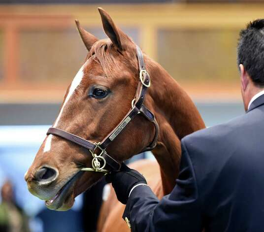 Hip #409, a weanling by Shackleford consigned by Rhapsody Farm brought the sale high price of $150,000 at the Fasig-Tipton Fall Sale Tuesday afternoon Oct. 7, 2014 in Saratoga Springs, N.Y.   (Skip Dickstein/Times Union) Photo: SKIP DICKSTEIN