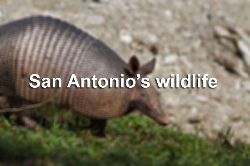 San Antonio may be one of the largest cities in the nation, but don't be surprised if you run into one of these creatures in the Alamo City.