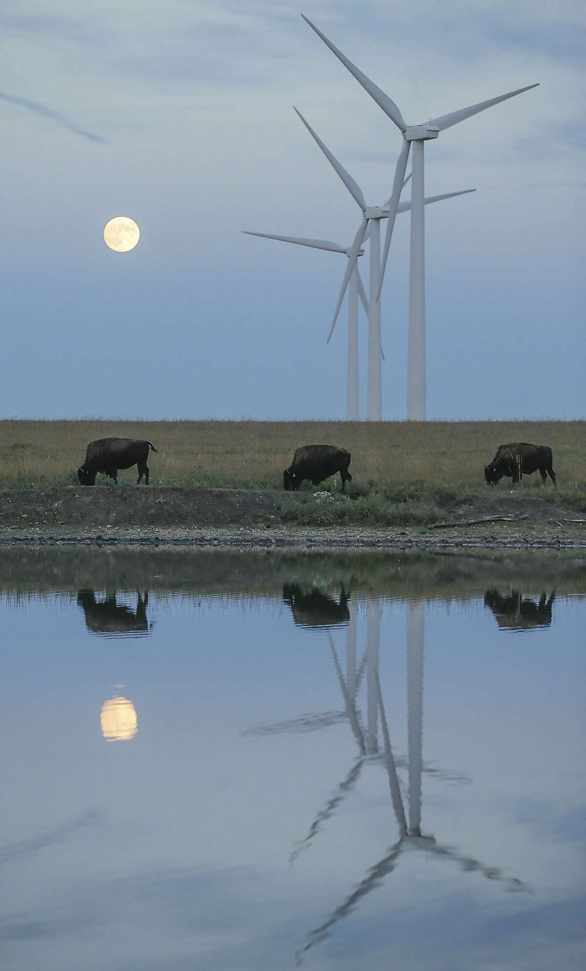 You staying up for eclipse? As the moon rises, bison graze in a pasture beneath a row of wind turbines near Beaumont, Kan.
