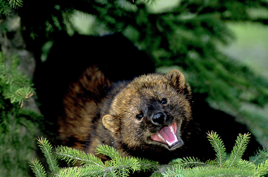Fishers, which lived along the Pacific coast for thousands of years, were nearly wiped out by hunting and loss of habitat from logging. But in an odd twist, the biggest threats now to the smooth-coated critters are cannabis cultivators. Photo: Wayne Lynch, Getty Images / All Canada Photos