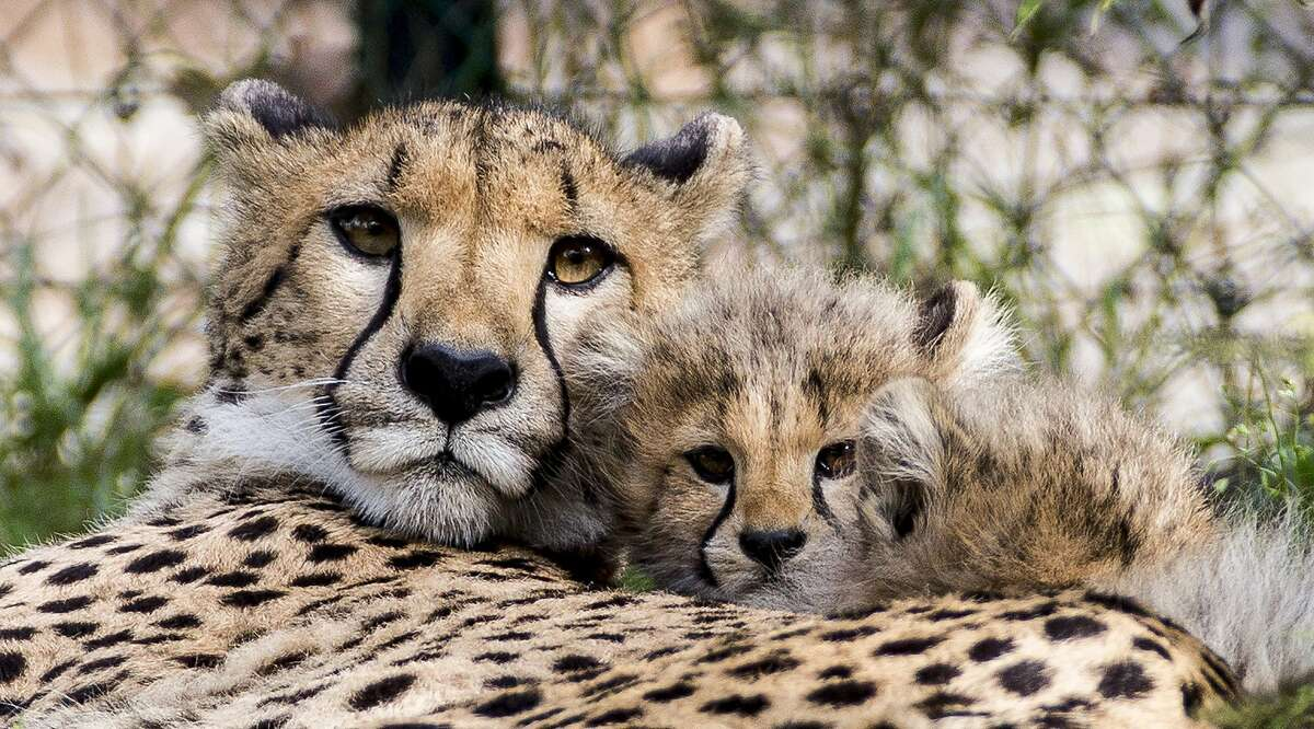 THIS IS MOM'S 'KEEP YOUR DISTANCE FACE: Alima and her 11-week-old cub cuddle in the Zoo of Basel, Switzerland. The cub is one of four she gave birth to in July.