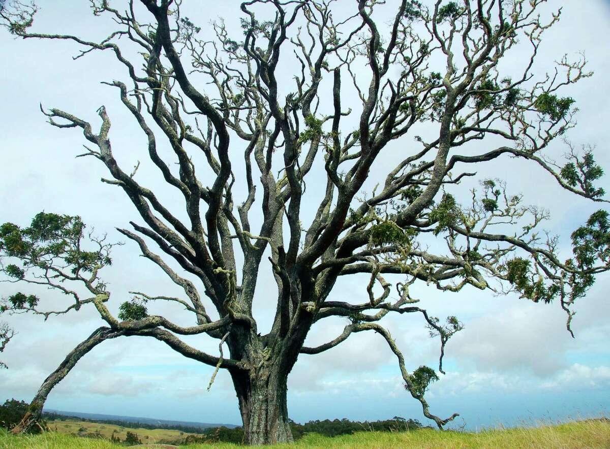 An ancient Koa tree in Hawaii.