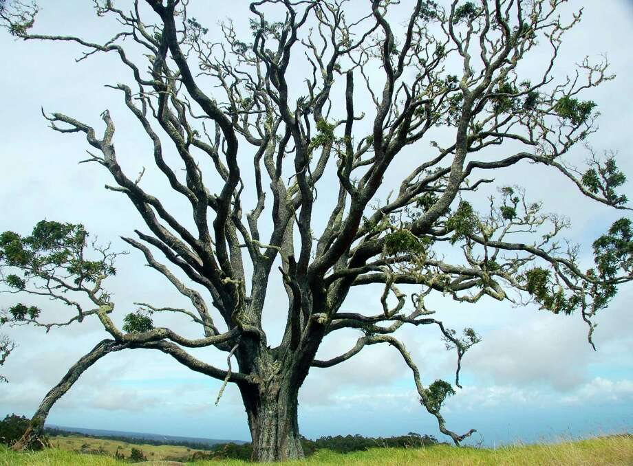 An ancient Koa tree in Hawaii. Photo: Jeanne Cooper /Special To The Chronicle / ONLINE_CHECK