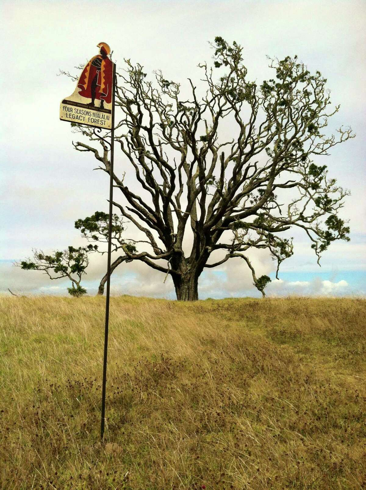 A Kamehameha sign stands by a koa tree, planted as part of the Hawaiian Legacy Reforestation Initiative.