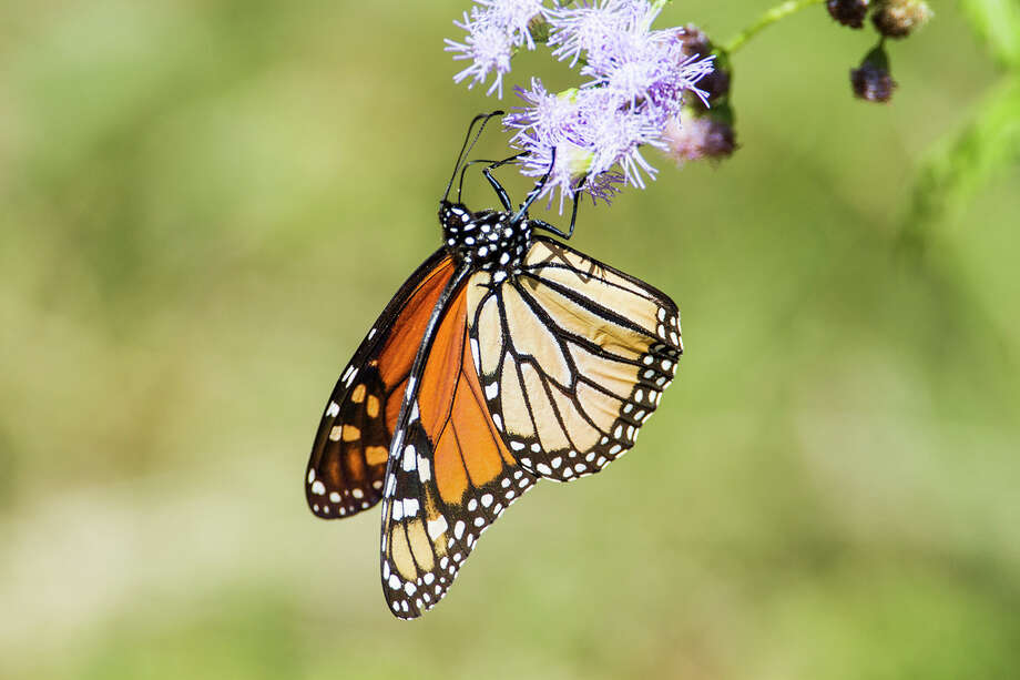 In autumn, millions of monarch butterflies migrate through Texas skies on their way to Mexico. Photo: Kathy Adams Clark / Kathy Adams Clark/KAC Productions