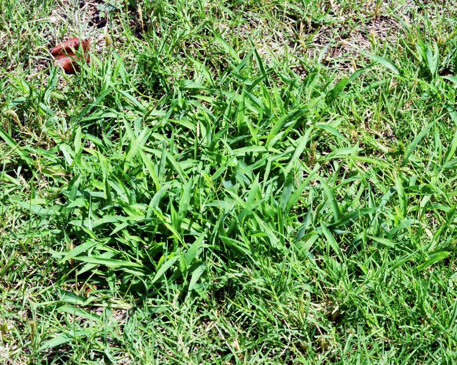 Crabgrass is an annual weed with light green leaves that grows in summer and dies away in fall. Photo: Courtesy Neil Sperry