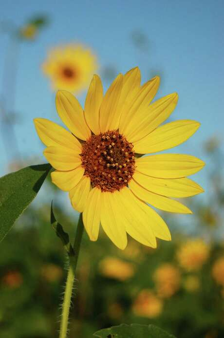 Maximilian sunflower blooms late summer until early fall. Photo: Bob Fitzsimmons / Courtesy