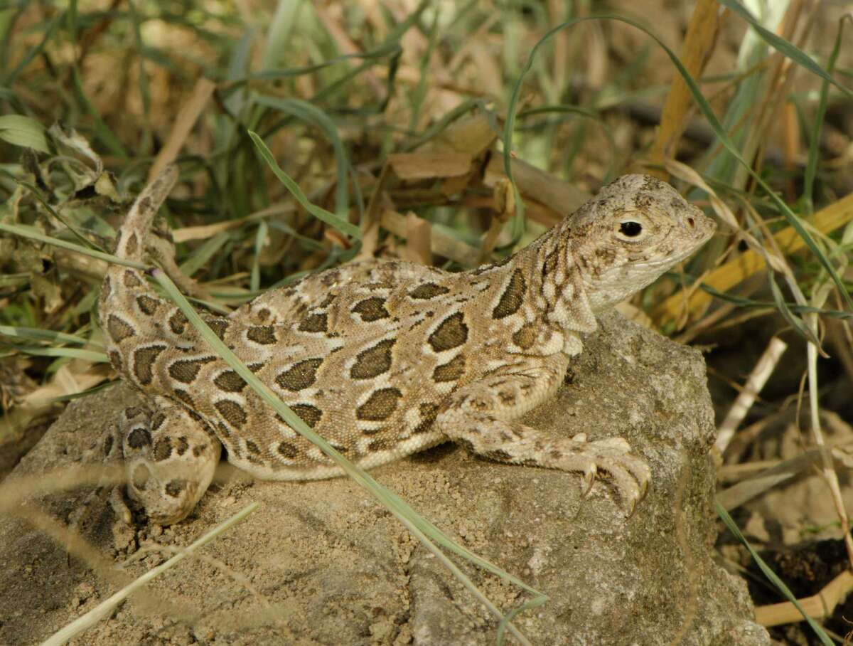 The spot tailed earless lizard along with theTexas mussels, monarch butterflies, the Rio Grande cooter, springsnailcould impact the Permian Basin, according toMyles Culhane, managing counsel with Occidental Petroleum Corp.