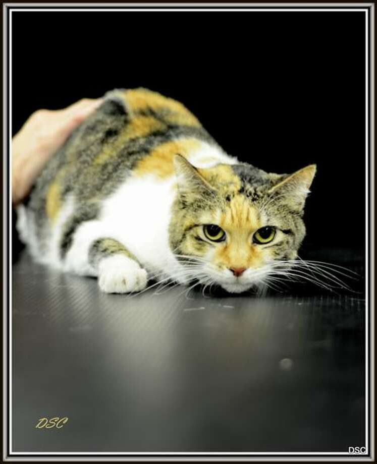PearlFemale - 6 years Photo: Houston SPCA