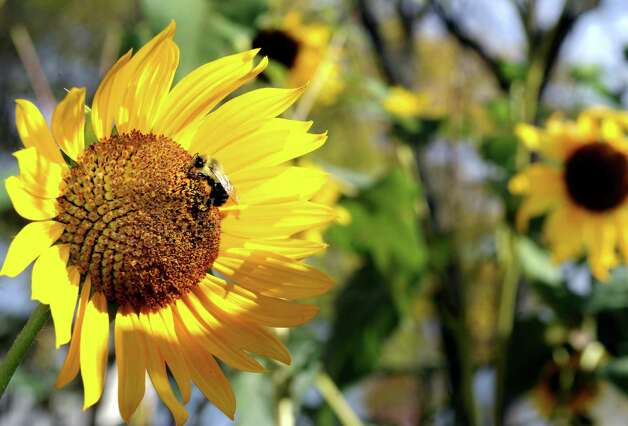 A bee visits a sunflower at the corner of Eagle Street and Madison Place  Friday, Oct. 10, 2014, in Albany, N.Y.  (Michael P. Farrell/Times Union) Photo: Michael P. Farrell
