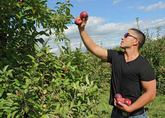 Eric Samson of Albany picks apples with his girlfriend at Indian Ladder Farms on Friday, Oct. 10, 2014, in Altamont, N.Y. (Lori Van Buren / Times Union) Photo: Lori Van Buren