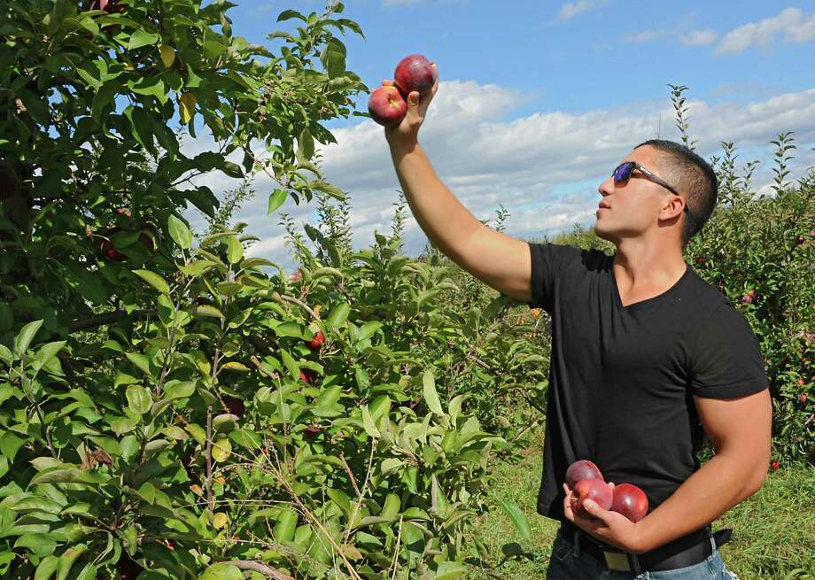 Eric Samson of Albany picks apples with his girlfriend at Indian Ladder Farms on Friday, Oct. 10, 2014, in Altamont, N.Y. (Lori Van Buren / Times Union) Photo: Lori Van Buren