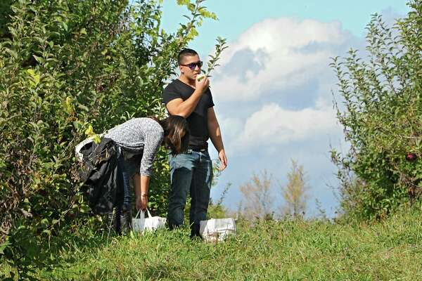 Eric Samson of Albany takes a break to try an apple while apple picking with his girlfriend Christina Destefano of Mechanicville at Indian Ladder Farms on Friday, Oct. 10, 2014, in Altamont, N.Y. (Lori Van Buren / Times Union)
