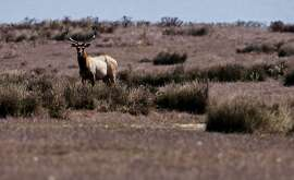 A male Tule Elk roams the open fields of the Point Reyes National Seashore, Calif., on Thursday Oct. 2, 2014. Ranchers are complaining about the tule elk along the Point Reyes National Seashore, because they have begun roaming onto their grazing lands, knocking down fences and foraging where their cattle forage. The ranchers want the elk removed and fenced off, but conservationists think they should roam free.