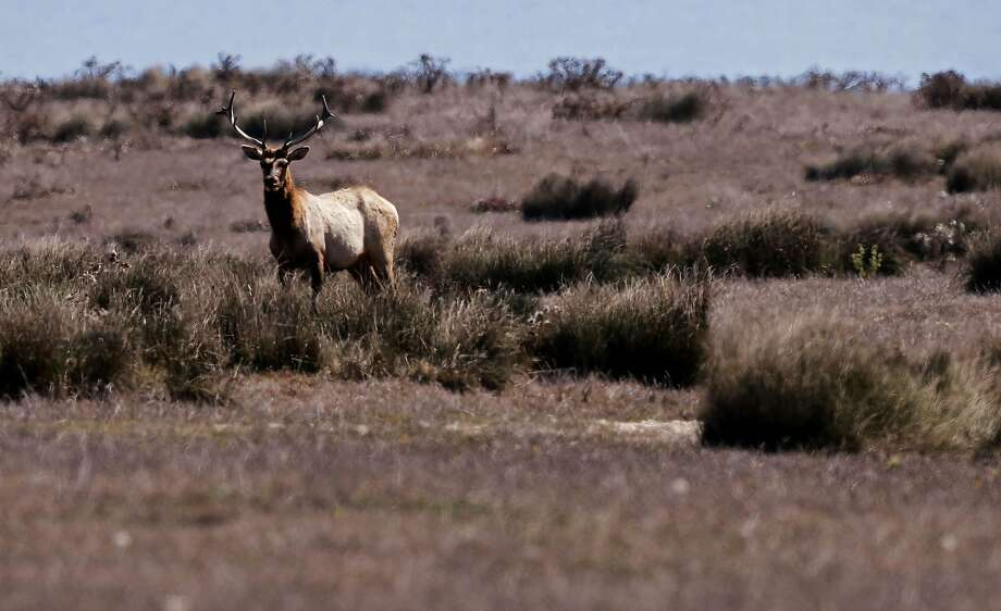 A male Tule Elk roams the open fields of the Point Reyes National Seashore, Calif., on Thursday Oct. 2, 2014. Ranchers are complaining about the tule elk along the Point Reyes National Seashore, because they have begun roaming onto their grazing lands, knocking down fences and foraging where their cattle forage. The ranchers want the elk removed and fenced off, but conservationists think they should roam free. Photo: Michael Macor, The Chronicle