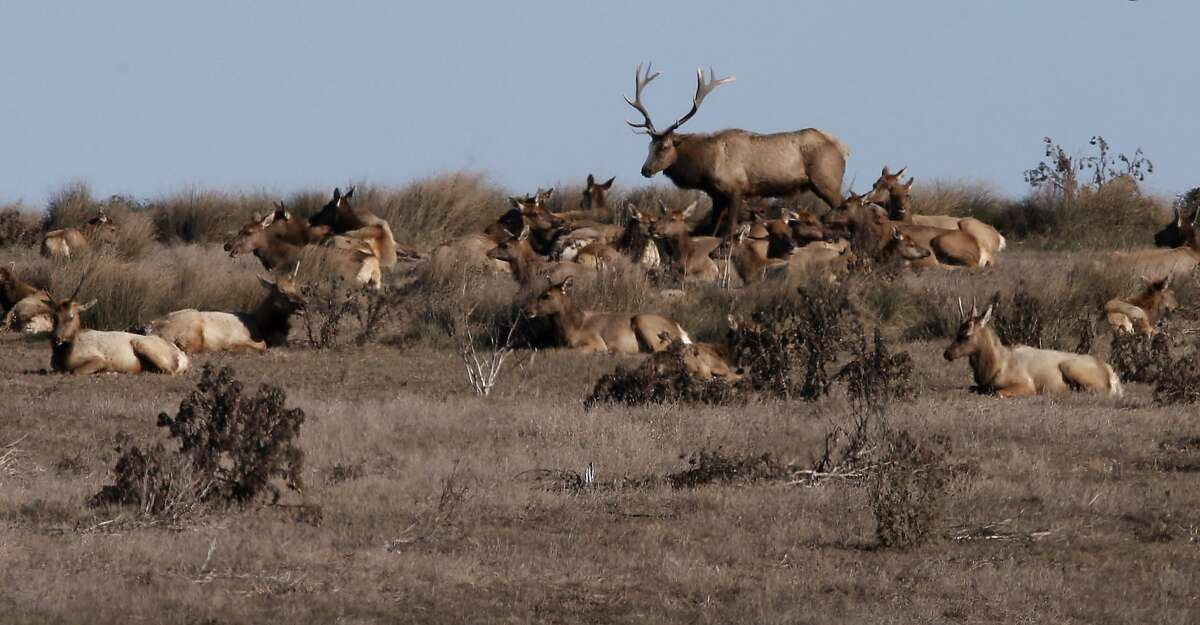 Tule Elk on the historic C Ranch at the Point Reyes National Seashore, Calif., on Thursday Oct. 2, 2014. Ranchers are complaining about the tule elk along the Point Reyes National Seashore, because they have begun roaming onto their grazing lands, knocking down fences and foraging where their cattle forage. The ranchers want the elk removed and fenced off, but conservationists think they should roam free.