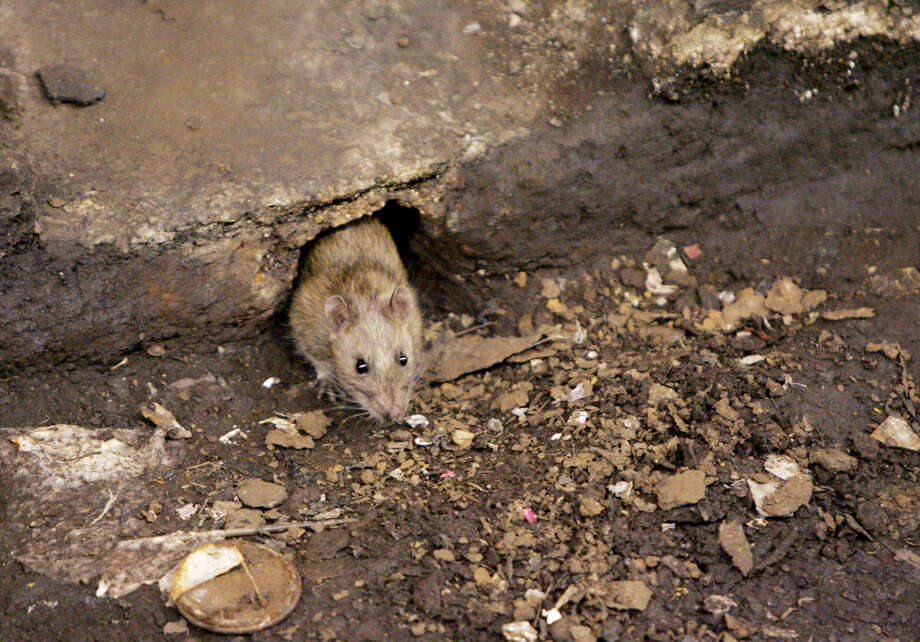 FILE - In this Dec. 12, 2005 file photo, a rat comes briefly out of its hole at a subway stop in the Brooklyn borough of New York, before retreating at the arrival of the F train. City Comptroller Scott Stringer said Sunday, Oct. 12, 2014 that New York is losing the rat race. He said citizen complaints about pests to the 311 hotline plus online reports went from 22,300 in fiscal year 2012 to 24,586 the next year. (AP Photo Photo/Julie Jacobson, File) ORG XMIT: NYR102 Photo: Julie Jacobson / AP
