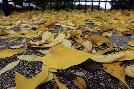 Golden yellow leaves from an ash tree are scattered along a sidewalk in San Antonio on Thursday, Dec. 15, 2011. Kin Man Hui/kmhui@express-news.net