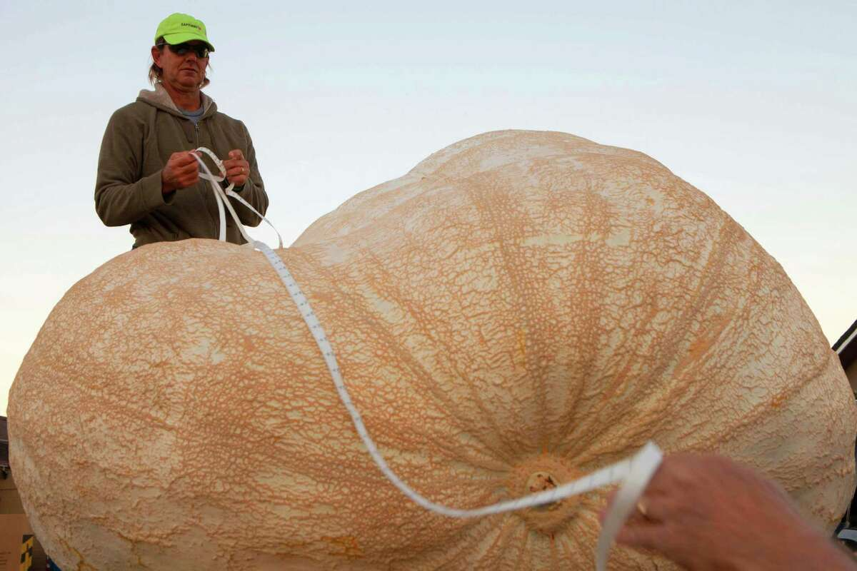 Eric Carlson takes official Great Pumpkin Commonwealth measurements of John Hawkley's pumpkin at the 41st Annual Safeway World Championship Pumpkin Weigh-Off in Half Moon Bay, Calif., Monday, Oct. 13, 2014. Hawkley of Napa Calif. was named as a favorite to win early in the day. (AP Photo/Alex Washburn) ORG XMIT: CAAW101
