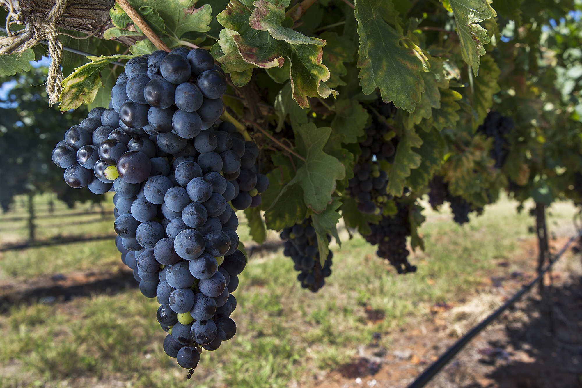 Not All Grapevines Can Take Texas Heat Houston Chronicle