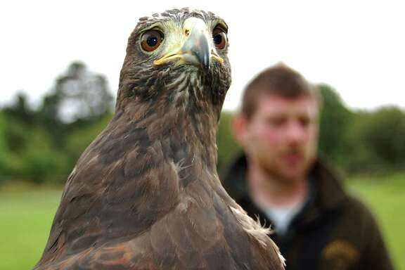 Milly is a Harris hawk, a breed commonly used in falconry.