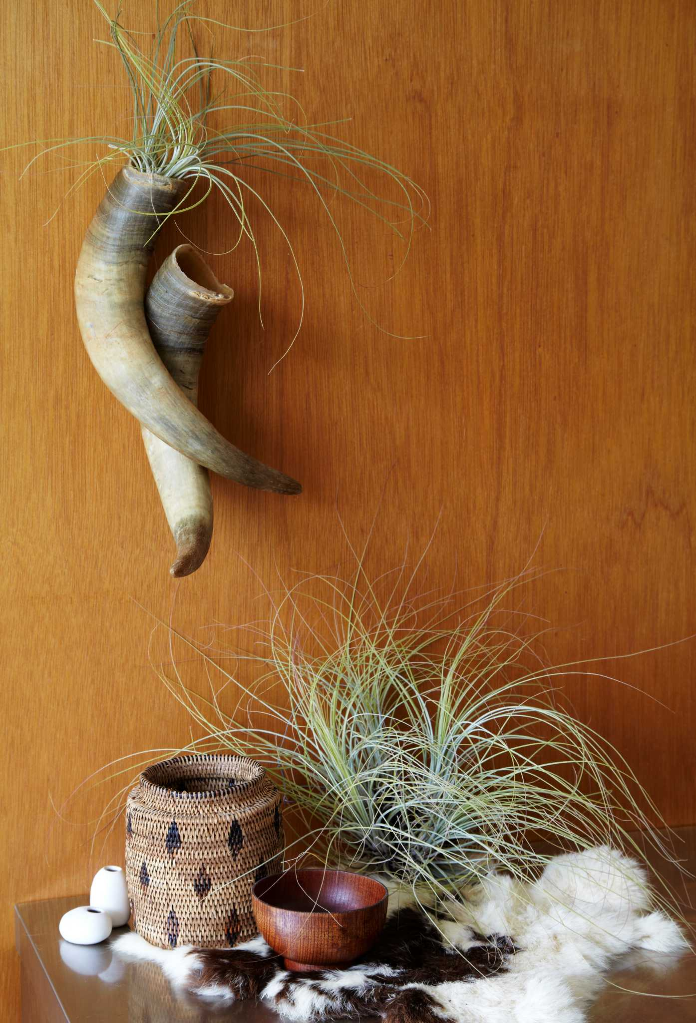 Decorating with air plants - SFGate