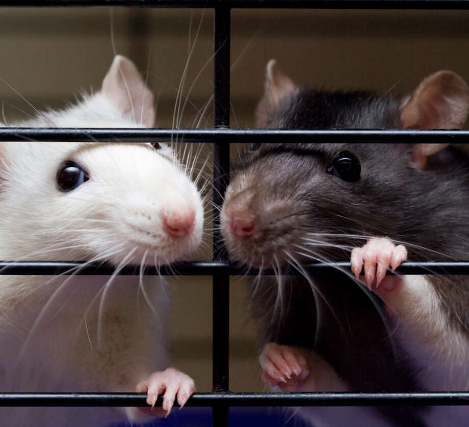 Two fancy rats looking through cage bars Photo: ARATHRAEL PHOTOGRAPHY VIA GETTY IMAGES / Flickr RF