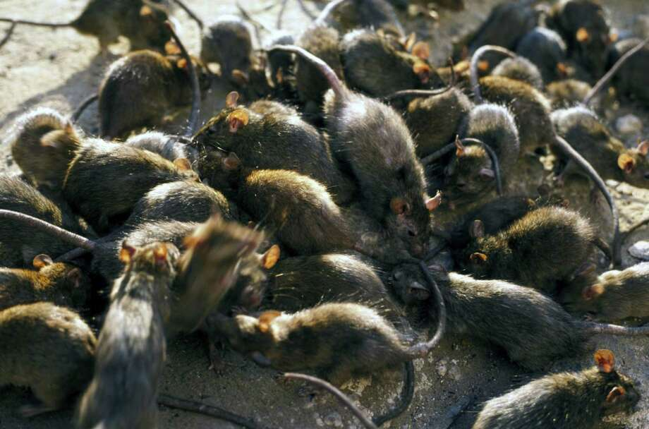 A new study finds that rats may not have been responsible for carrying the fleas that transmitted bubonic plague to humans. Photo: JOHN DOWNER/OXFORD SCIENTIFIC / (c) John Downer