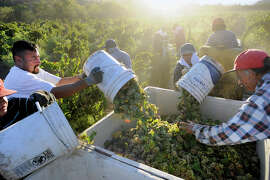 Field workers dump buckets full of Riesling grapes into a bin during harvest at Wirz Vineyards in Hollister. Many wineries have wrapped up their harvests by October, well ahead of the usual season pickings.