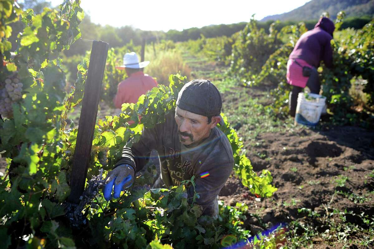 Francisco Garcia picks Riesling grapes from dry-farmed, head trained vines as he and other field workers harvest at Wirz Vineyards in Hollister, CA, October 3, 2014.