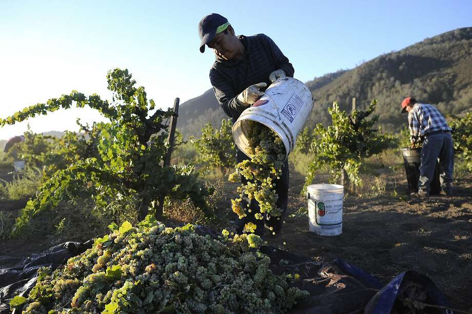 Field worker Eduardo Segoviano dumps out a bucket of Riesling grapes picked from dry-farmed vines at Wirz Vineyards in Hollister (San Benito County). Photo: Michael Short, The Chronicle