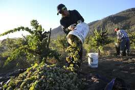 Field worker Eduardo Segoviano dumps out a bucket of Riesling grapes picked from dry-farmed, head trained vines at Wirz Vineyards in Hollister, CA, October 3, 2014.