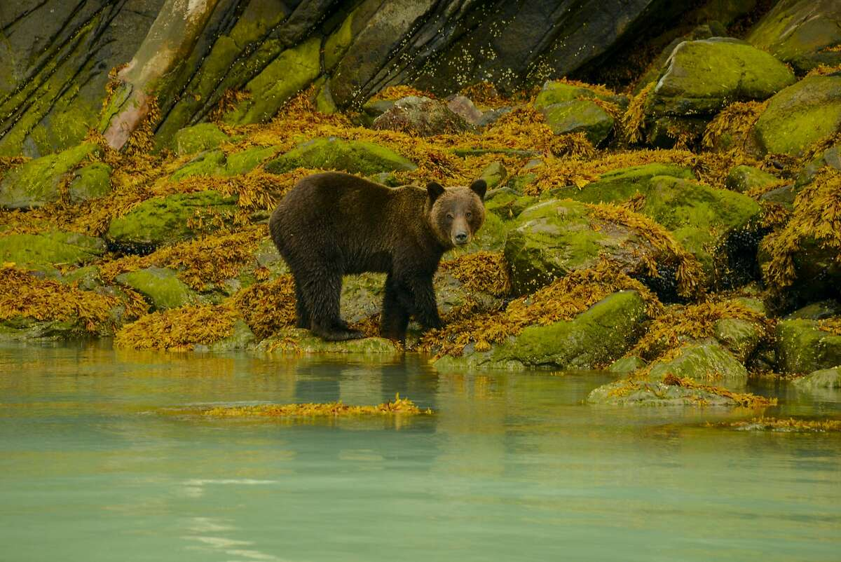 A bear fishes for salmon along the Bute Inlet.