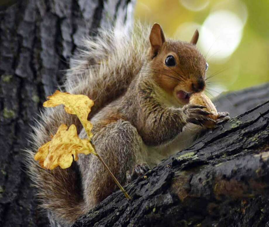 A fox squirrel enjoys a snack high up in a tree in Windber, Pa. Wednesday, Oct. 15, 2014. Photo: Todd Berkey, Associated Press