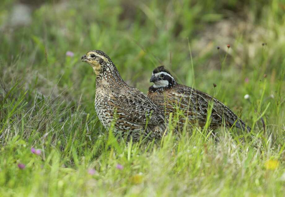 After years of drought shriveled grassland habitat and helped drive Texas bobwhite quail numbers to near-record lows, 2014 saw timely rains that produced a flush of vegetation and insects that helped fuel a surge in Texas' bobwhite quail numbers. Photo: Jerod Foster