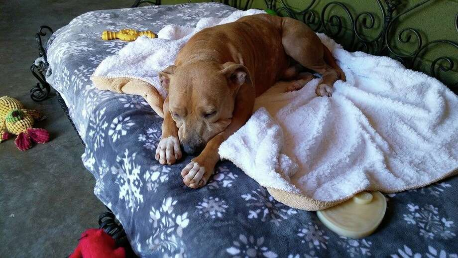 Adonis, a pitbull mix shot at close range, is recovering under the care of St. Francis' Angels in Richmond.WARNING: Graphic photos to follow. Photo: St. Francis' Angels
