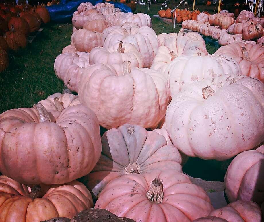 (Nancy O'Donnell) Pink Pumpkins for Breasr Cancer Awareness