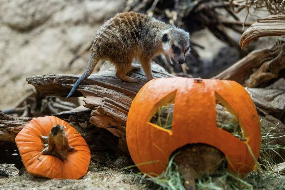 Meerkats chomp and romp with Halloween spirit during Woodland Park Zoo's annual Pumpkin Bash Thursday, October 16, 2014, at Woodland Park Zoo in Seattle, Washington. Pumpkin Bash is held Saturdays-Sundays, October 18-19, 25-26 and Friday, October 31. Photo: JORDAN STEAD, SEATTLEPI.COM / SEATTLEPI.COM