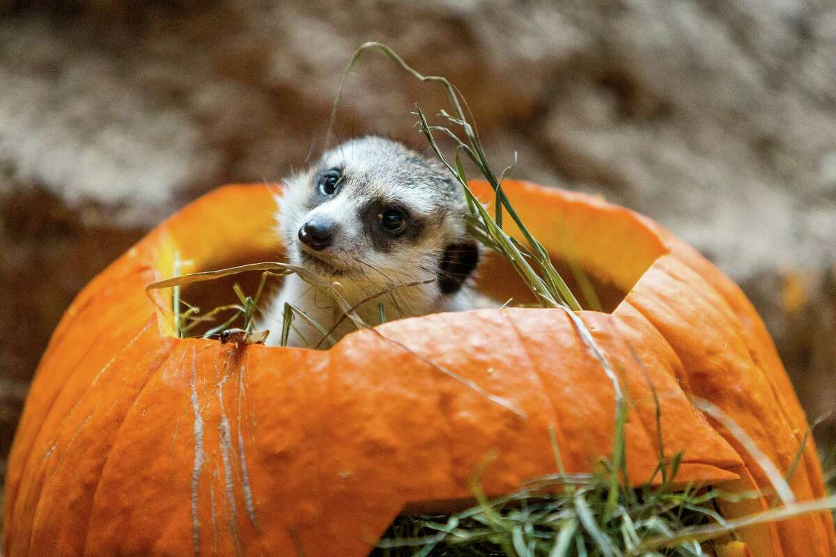 Meerkats chomp and romp with Halloween spirit during Woodland Park Zoo's annual Pumpkin Bash Thursday, October 16, 2014, at Woodland Park Zoo in Seattle, Washington. Pumpkin Bash is held Saturdays-Sundays, October 18-19, 25-26 and Friday, October 31.