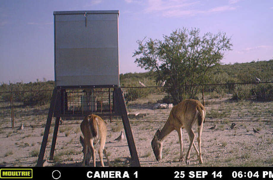 A trail camera captured this image of a doe and yearling feeding on corn. The technology can be useful in trying to predict deer habits and movement as the hunting season approaches. Photo: Courtesy Photos / Copyright 2002