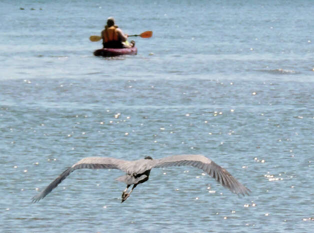 A great blue heron stalks kayaker at the Albany Boat Launch. (John Montesi)