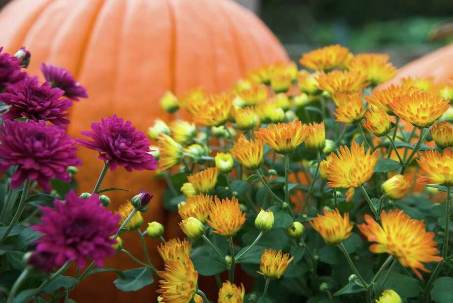 Long-lasting mums are a great addition to fall decorations. Photo: Getty Images / Getty Images / (c) zorani