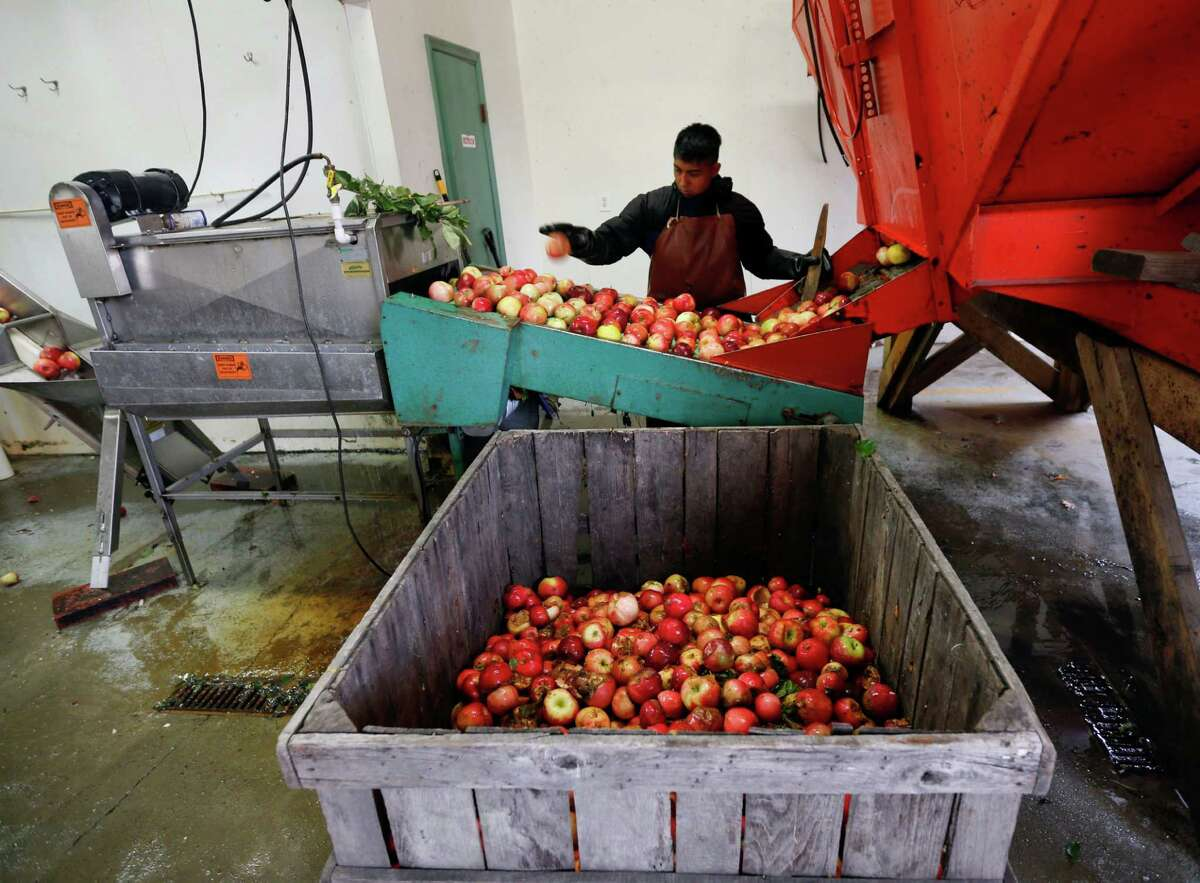 In this Oct. 14, 2014 photo, Perry Loyola sorts apples before they are pressed for juice and used for cider at Samascott Orchards in Kinderhook, N.Y. Apple growers are tapping into the hard cider revenue stream after sales of hard cider in the U.S. have tripled over the last three years to $1.3 billion in 2013. (AP Photo/Mike Groll) ORG XMIT: NYMG207