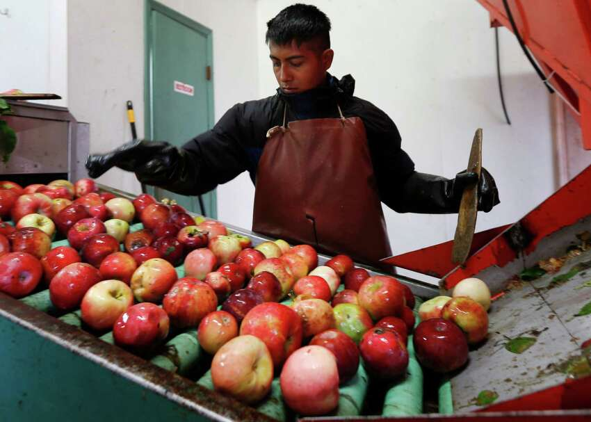 In this Oct. 14, 2014 photo, Perry Loyola sorts apples before they are pressed for juice and used for cider at Samascott Orchards in Kinderhook, N.Y. Apple growers are tapping into the hard cider revenue stream after sales of hard cider in the U.S. have tripled over the last three years to $1.3 billion in 2013. (AP Photo/Mike Groll) ORG XMIT: NYMG200