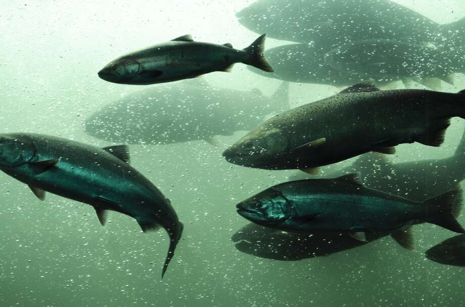 The Trump administration's budget blueprint would axe the entire $65 million salmon recovery program for Pacific Coast states.  Photo: Kyu Oh, Getty Images